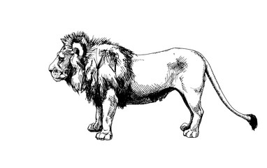 Lion vector isolated graphic sketch hatched