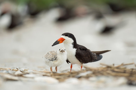 A baby Black Skimmer chick and adult birds stand on a sandy beach in a colony o birds in soft overcast light.