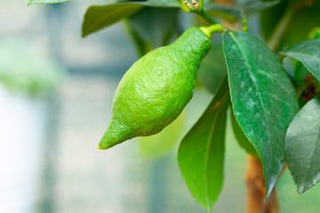 green lemon growing on lemon tree