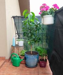 lemon tree growing in flower pot on balcony