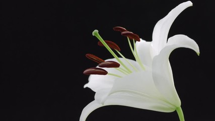 Fotoväggar - Beautiful white lily isolated on black background. Blooming lilly flower opening closeup. Timelapse. 3840X2160 4K UHD video footage