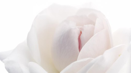 Fotoväggar - Beautiful white rose isolated on white background. Blooming rose flower open, time lapse, closeup. Floral backdrop, Valentine's Day concept. Timelapse. 3840X2160 4K UHD video footage