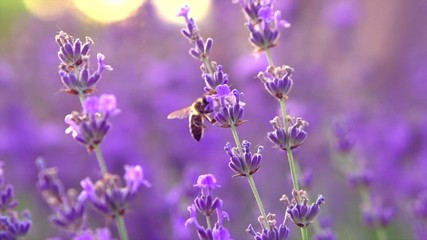 Fotoväggar - Honey Bee on fragrant Lavender flower. Honeybee working on growing lavender flowers field closeup. Slow motion 4K UHD video footage. 3840X2160