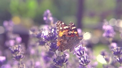 Fotoväggar - Butterfly on fragrant Lavender flower. Butterfly sucking nectar on growing lavender flowers field closeup. Slow motion 4K UHD video footage. 3840X2160