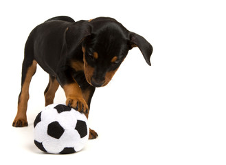 German Pinscher puppy playing