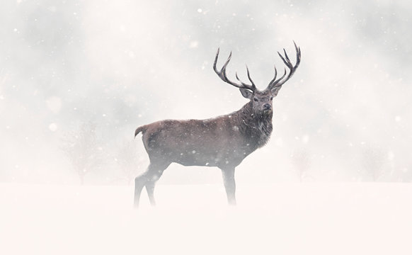 Deer Stag in Snow