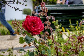 Rosa rossa con rugiada