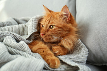 Adorable red cat under plaid on sofa at home. Cozy winter