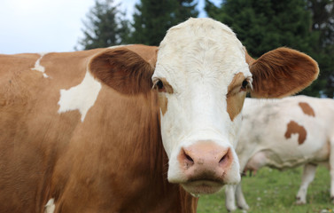 big muzzle of a brown and white cow