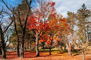 Red autumn maple tree garden at Aizu Wakamatsu Tsuruga Jo Castle