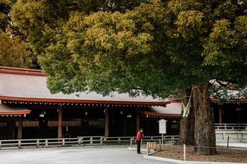 Meiji Jingu Shrine old sacred tree with Asian tourists praying - Tokyo