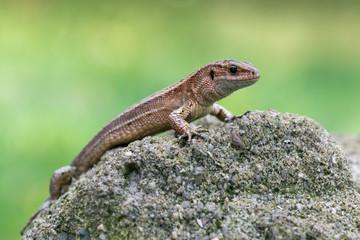 a Viviparous lizard - Zootoca vivipara