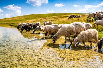 Sheep drinking of Vrazje lake in National Park Durmitor, Montenegro
