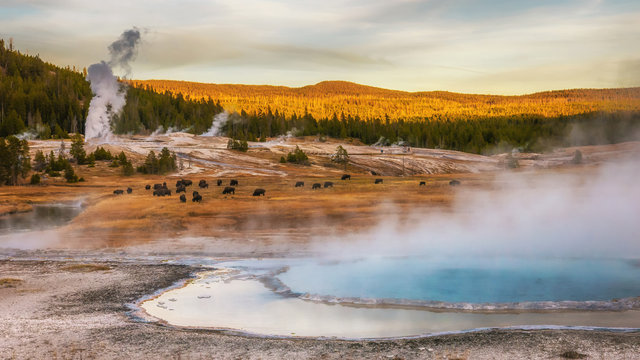 Hot springs and geyser basin landscape with bison grazing at Yellowstone National Park, Wyoming, USA.
