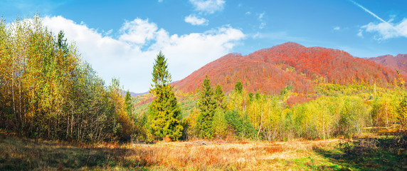 spruce and birch forest on the meadow in mountains. beautiful autumnal panoramic landscape of Carpathians. trees in reddish foliage on the distant ridge beneath a blue sky with fluffy clouds