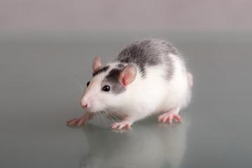 studio portrait of a domestic rat