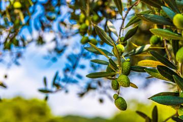Photo sur Toile Oliviers オリーブの木