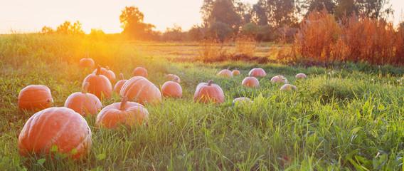 field with pumpkins at sunset Fotoväggar