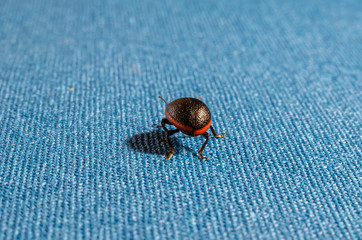 A narrow-edged leaf beetle (Chrysolina sanguinolenta) on a blue fabric runs away from the photographer. Rear view of a black beetle. Macro photo. Soft focus. The horizontal version of the picture.