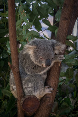Wall Murals Koala Little Koala