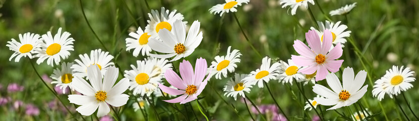 beautiful white flowers in the garden on green background сloseup Wall mural