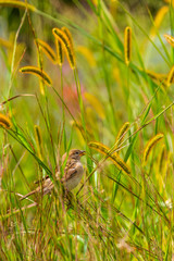 Brown bird sitting in tall green grass