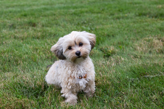 Adorable female cream and brown morkie sitting in lawn with head cocked and inquisitive expression waiting for instructions