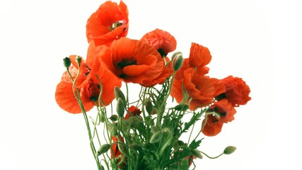 Fotoväggar - Red Poppy flowers closeup. Bouquet of blooming Poppies isolated on white background. Timelapse 4K UHD video footage. 3840X2160