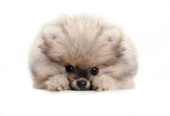 cute pomeranian spitz puppy dog, lying down on white floor, looking shy