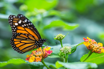 The monarch butterfly or simply monarch (Danaus plexippus) on the flower garden.