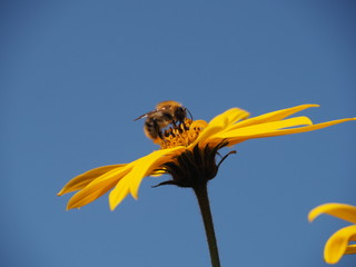 Bumblebee sitting on a bright yellow flower background clear sky close-up. Colorful picture for decoration.