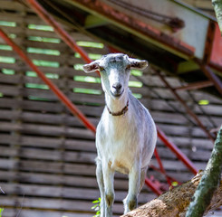 Goat Stare