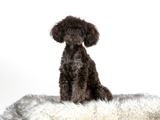 Black toy poodle posing in studio with white background.
