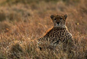 Cheetah in the evening light at Masai Mara, Kenya Wall mural