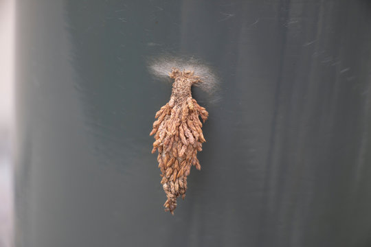A bagworm Moth Cocoon attached to a lamp post