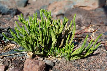 Vegetación xerofítica adaptada a condiciones desérticas