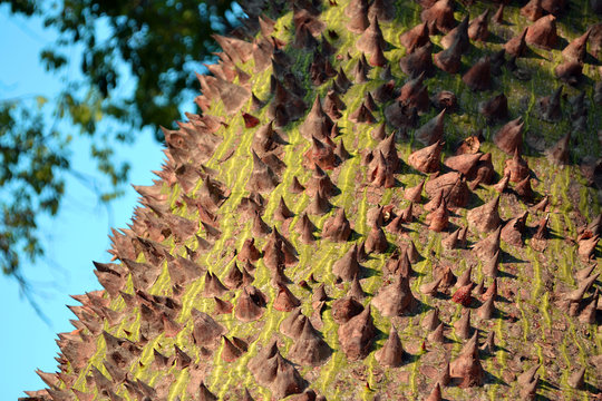 Chorisia speciosa, the silk floss tree trunk surface