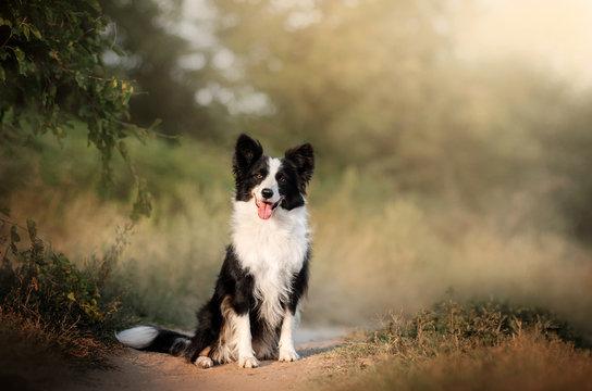 border collie dog beautiful portrait in full growth magic light beautiful sunset