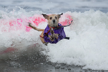 """A dog jumps off a surfboard  while competing at the 14th annual Helen Woodward Animal Center """"Surf-A-Thon"""" where  more than 70 dogs competed in five different weight classes for """"Top Surf Dog 2019"""" in Del Mar, California"""