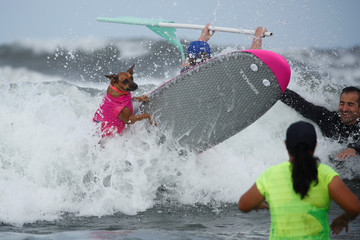 """A dog jumps off his surfboard while competing at the 14th annual Helen Woodward Animal Center """"Surf-A-Thon"""" where  more than 70 dogs competed in five different weight classes for """"Top Surf Dog 2019"""" in Del Mar, California"""