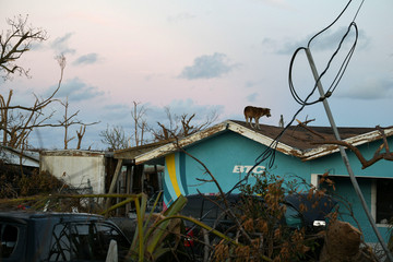 A dog walks on top of a roof in a damaged neighborhood in the wake of Hurricane Dorian in Marsh Harbour