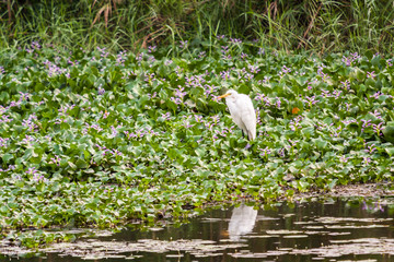 Egret resting on weeds in a river in search of prey