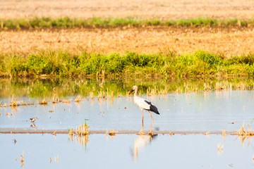 Indian Open bill stork in a paddy field with water