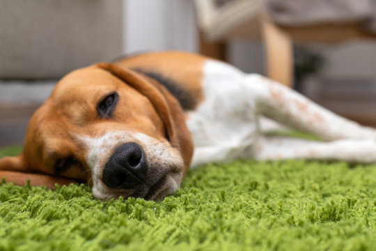Cute beagle puppy lying on a green carpet at home. Purebred, bes