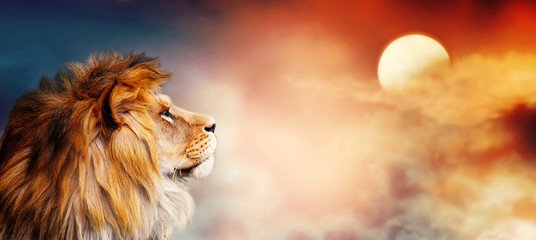Poster Leeuw African lion and sunset in Africa. Savannah landscape theme, king of animals. Spectacular warm sun light and dramatic red cloudy sky. Proud dreaming fantasy leo in savanna looking forward.