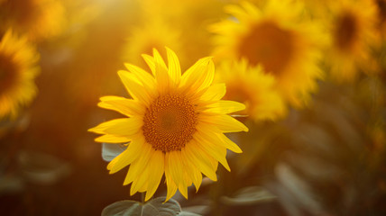 Sunflowers in sun close up with soft focus. Country field natural background. Sunflower blooming. Sunset above orange flowers. Nice harvest at autumn. Vibrant summer image. Fototapete