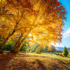 Beautiful tall tree with golden leaves - amazing autumn landscape