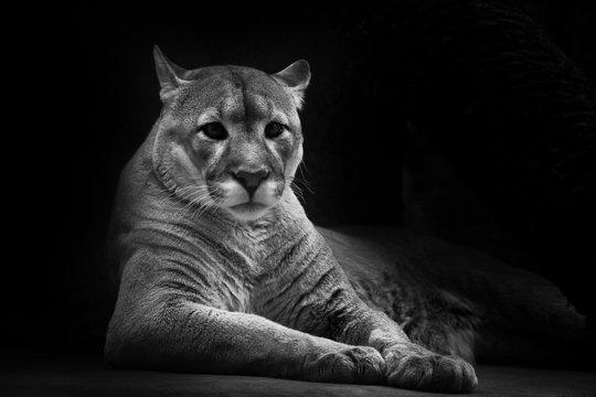 Cougar beautifully  lies on a dark background, a powerful predatory big cat