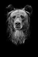 powerful bear, closeup portrait, black and white photo isolated on black background