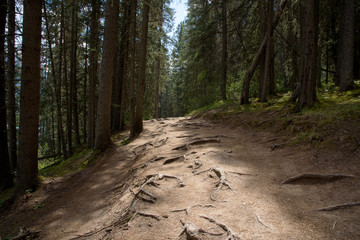 Photo sur Plexiglas Route dans la forêt Exposed tree roots on path through pine forest in Rocky Mountains, Western Cadada